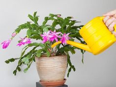 This is a guide about caring for a Christmas cactus. The Christmas cactus is an easy to grow house plant with a little understanding of its needs. Container Plants, Container Gardening, Gardening Tips, Outdoor Plants, Potted Plants, Christmas Cactus Plant, Plant Watering System, Cactus Planta, Pot Jardin