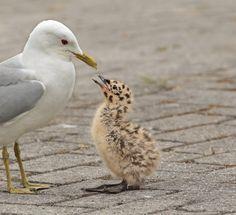 Honger! - Vogels (mus, valk, etc) - kleine mantelmeeuw
