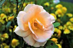 Ősz, Rózsa, Eső, Tea, A Csemege, Rózsa Virág, Növény