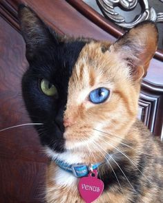 ♥~Meet Venus, the Majestic Two-Toned-Faced Cat~♥~Click on Venus and enjoy more beautiful photos of her~