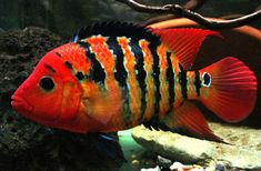 red terror cichlid Love this Fish but don't have room for it YET!