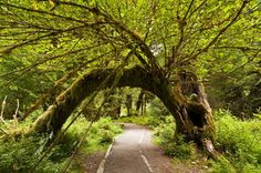 Explore Hoh Rainforest, Olympic National Park, Washington - Bucket List Dream from TripBucket