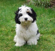 The Cavachon is a cross between the Cavalier King Charles Spaniel and the Bichon Frise.