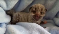 Amazing Color-Changing Kittens: What Is Fever Coat? – Meowingtons