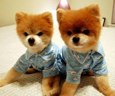 9 Insanely Adorable Puppies In Pajamas Sleepy Animals, Baby Animals, Funny Animals, Cute Animals, Small Animals, Puppies In Pajamas, Cute Puppies, Cute Dogs, World Cutest Dog