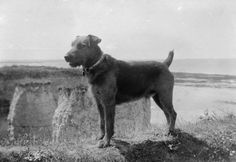 "A portrait of ""Jim"", an Airedale terrier who was trained for coastguard duties at Birchington, Kent. The dog gave warning of the approach of the first Zeppelin that raided the Kentish coast. The photograph shows Jim on duty on the cliffs of the north Kent coast. WWI"