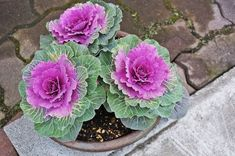 How to create beautiful, long-lasting fall containers using the newest flowering kale and 'cabbage' varieties. Kale Plant, Cabbage Plant, Cabbage Flowers, Cabbage Seeds, Ikebana, Container Plants, Container Gardening, Flower Gardening, Flowering Kale
