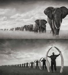 Elephants Walking Through Grass, Amboseli 2008. Leading Matriarch Killed By Poachers, 2009. PHOTO BY :: Nick Brandt  SO SAD