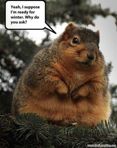 ready for winter, funny fat squirrel photo, why do you ask