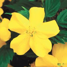 Honshu Kerria: Every garden deserves this splendid Kerria! Hard to find but so easy to grow, this delightful little shrub offers big 2-inch golden-yellow blooms most heavily in spring, and intermittently in summer and fall.