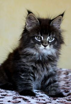 Interested in owning a Maine Coon cat and want to know more about them? We've made this site to tell you all you need to know about Maine Coon Cats as pets Gatos Maine Coon, Maine Coon Kittens, Pretty Cats, Beautiful Cats, Animals Beautiful, Beautiful Gorgeous, Absolutely Gorgeous, Beautiful Pictures, Cute Kittens