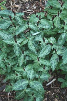 Lance-leaf Trillium for sale buy Trillium lancifolium 'Shotgun Wedding'