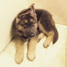 Blue GSD Puppy-Apollo