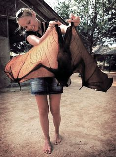 "☆ Malaysian Flying Fox -Pteropus vampyrus- a southeast Asian species of megabat. Don't be put off by the word ""vampyrus"" in its official name. This is no vampire. It only eats fruits, flowers and nectar.☆"