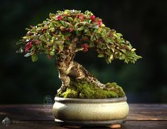 Shohin (Cotoneaster horisontalis) by Morten Albek - Just georgeous