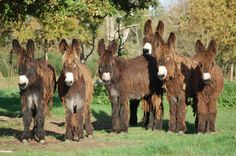 Baudet du poitou donkeys. a rare breed bred in France for their strength, since the time of the Romans. Characterized by the thick, shaggy coat there are thought to be less than 400 of this breed today.