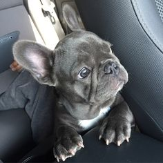 The major breeds of bulldogs are English bulldog, American bulldog, and French bulldog. The bulldog has a broad shoulder which matches with the head. French Bulldog Blue, French Bulldog Puppies, French Bulldogs, French Bulldog For Sale, English Bulldogs, Cute Puppies, Cute Dogs, Corgi Puppies, Cãezinhos Bulldog
