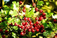 Hawthorn - High concentrations of flavonoids and antioxidants account for their great benefit to healthy venous system integrity and circulation. Hawthorn berries are recommended for resolving abdominal distention and pain associated with food stagnation. Many western herbalists like to use the berry with the tree's leaf and flower. The trifecta is a  complete formula for soothing the strain of major shock and trauma. Read more on our blog.