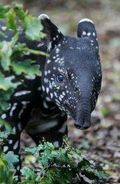 Baby Tapir