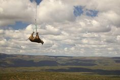 November 8, 2011. A sedated Black Rhino is carried by military helicopter away from a poaching area in the hills of the Eastern Cape to a new home 15 miles away, Limpopo, South Africa.