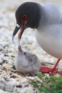 Swallow-tailed Gull with chick - Creagrus furcatus