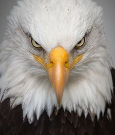 Eagle Images, Eagle Pictures, Bird Pictures, Birds Pics, The Eagles, Eagle Face, Bald Eagle, Adler Tattoo, Eagle Wallpaper