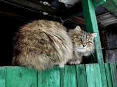 """""""It is with the approach of Winter that cats wear their richest fur, and display an attitude of delightful and sumptuous opulence."""" --Peter Loti"""