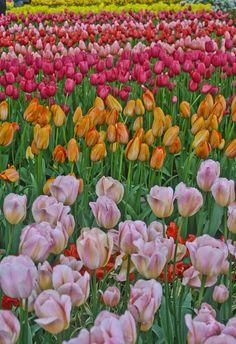 http://stephentravels.com/the-great-outdoors/tulip-mania-at-keukenhof/