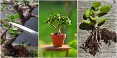 Everything you need to know about the amazing Spekboom (aka Elephant's food, Elephant bush, Dwarf jade plant or Porkbush) Growing Succulents, Succulents Garden, Carbon Sequestration, Garden Hedges, Jade Plants, Water Wise, Garden Club, Little Plants, Small Trees