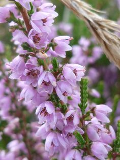 Purple blooms of Heather