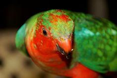 'Juvenile Male King Parrot' by danikatz Wild Birds, Wildlife, Greeting Cards, King, Queensland Australia, Parrots, Gold Coast, Facebook, Photos