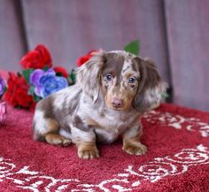 MGM DACHSHUNDS PAST SOLD PUPPIES, DACHSHUND BREEDER, DACHSHUND PUPPIES FOR SALE Dachshund Breeders, Chiweenie Puppies, Dachshund Puppies For Sale, Dapple Dachshund, Wire Haired Dachshund, Chihuahua Puppies, Dachshund Love, Teacup Chihuahua, Baby Animals
