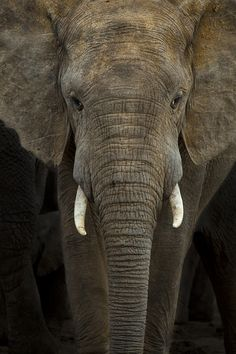 A portrait of a young bull elephant (Loxodonta Africana) captured in Hapoor Dam in Addo Elephant National Park, South Africa.