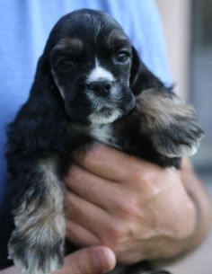 Kingdom Cockers, Cocker Spaniel Puppy