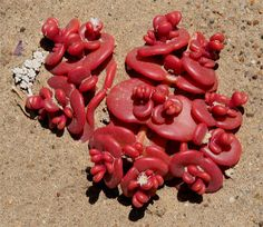 African succulent~ I do believe this is the most unusual plant I've ever seen