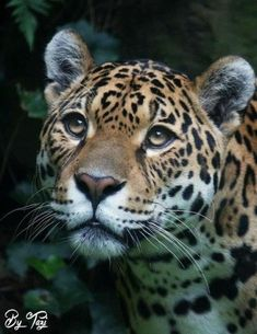 Best Jaguar Photos You Never Seen Before - Animals Comparison Jungle Animals, Animals And Pets, Cute Animals, Fauna Amazonica, Beautiful Cats, Animals Beautiful, Jaguar Animal, Big Cats Art, Majestic Animals