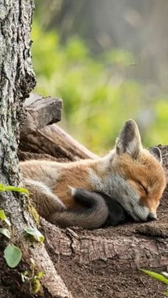 Ideas For Baby Animals Sleeping Red Fox Nature Animals, Animals And Pets, Wild Animals, Beautiful Creatures, Animals Beautiful, Cute Baby Animals, Funny Animals, Fuchs Baby, Wolf Hybrid