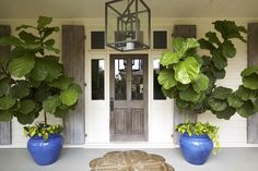 Large fig leaf tropical planters front porch shade blue pots stunning entrance entry way front porch plants doorway