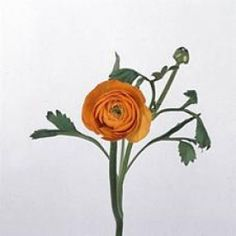 GrowersBox.com: Flowers: Orange Ranunculus 50 Stems: Wholesale Flowers