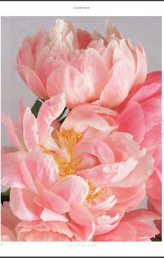 Peonies Discover The Flowerseekers Summer 18 The Flowerseekers Exotic Flowers, Pink Flowers, Beautiful Flowers, Flowers Nature, Small Flowers, Peony Flower, Flower Art, Art Floral, Pink Peonies
