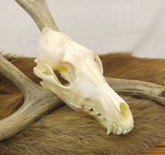 Coyote Skull, Taxidermy, Bones, Vulture Culture, Oddities, Curiosities, Cabin Decor, Rustic Decor, Wicca, Animal Skull, Skeleton, Goth by SagebrushandBeyond on Etsy