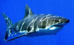 Great white shark(Carcharodon carcharias)ホホジロザメ