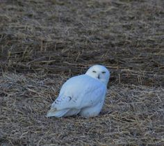 7 December 2014 Snowy Owl near Clinton, Ontario,