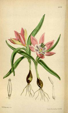 Tulipa pulchella - circa 1877