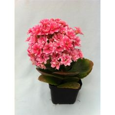 ***B $4 - ideal for a centrepiece in my succulent garden 70mm Kalanchoe Blossfeldiana Florist Kalanchoe