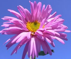 In addition to having a wide array of colors to choose from, the aster flower also has a good deal of meaning to go alongside its good looks. In general, the aster is considered a symbol of patience, daintiness, and a love of variety. Others state that this flower is an emblem for refinement and elegance. As a gift, asters placed in a bouquet with complementing flowers can be representative of love and admiration. They are often given to those born in September, or those celebrating a 20th…