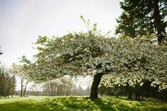 Spring at Oakbrook Golf Club, Lakewood, WA.