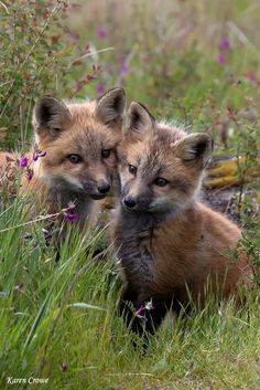 ~~Wild Fox Kits by Karen Crowe Photography~~