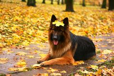 Long-haired German shepherd with a leaf on his/her head.
