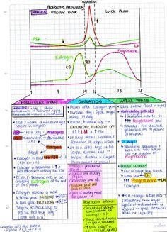 Menstrual cycle Follicular phase: estrogen promotes endometrial cell proliferation Ovulation Luteal phase: secretory phase